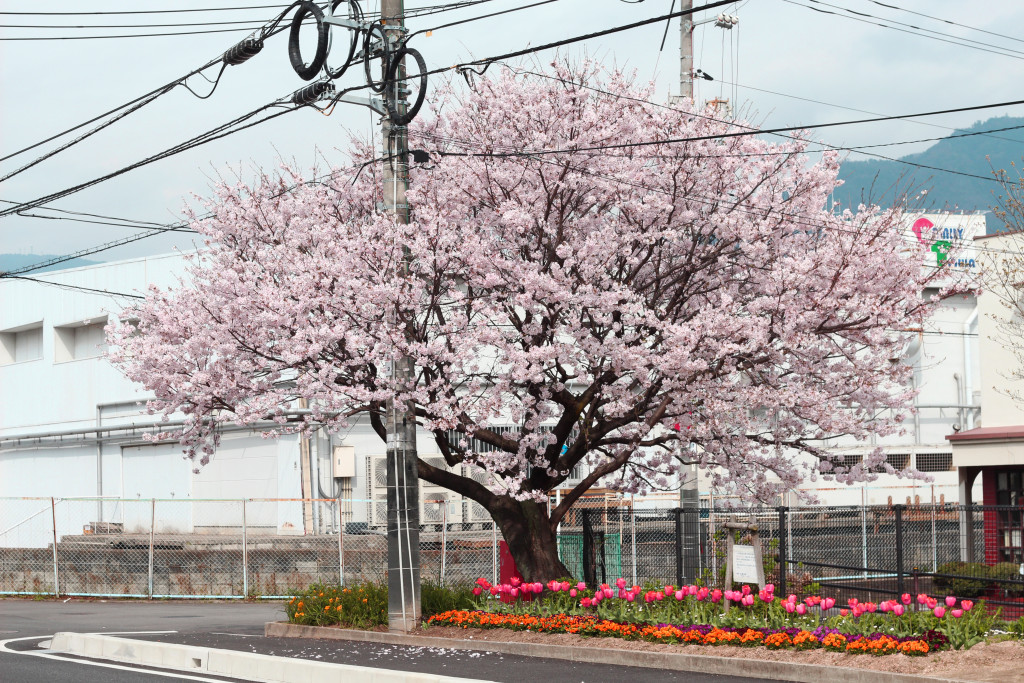 Hiroshima Cherry Blossom 1