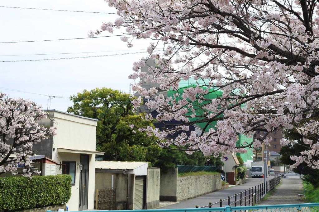 Hiroshima Cherry Blossom 2