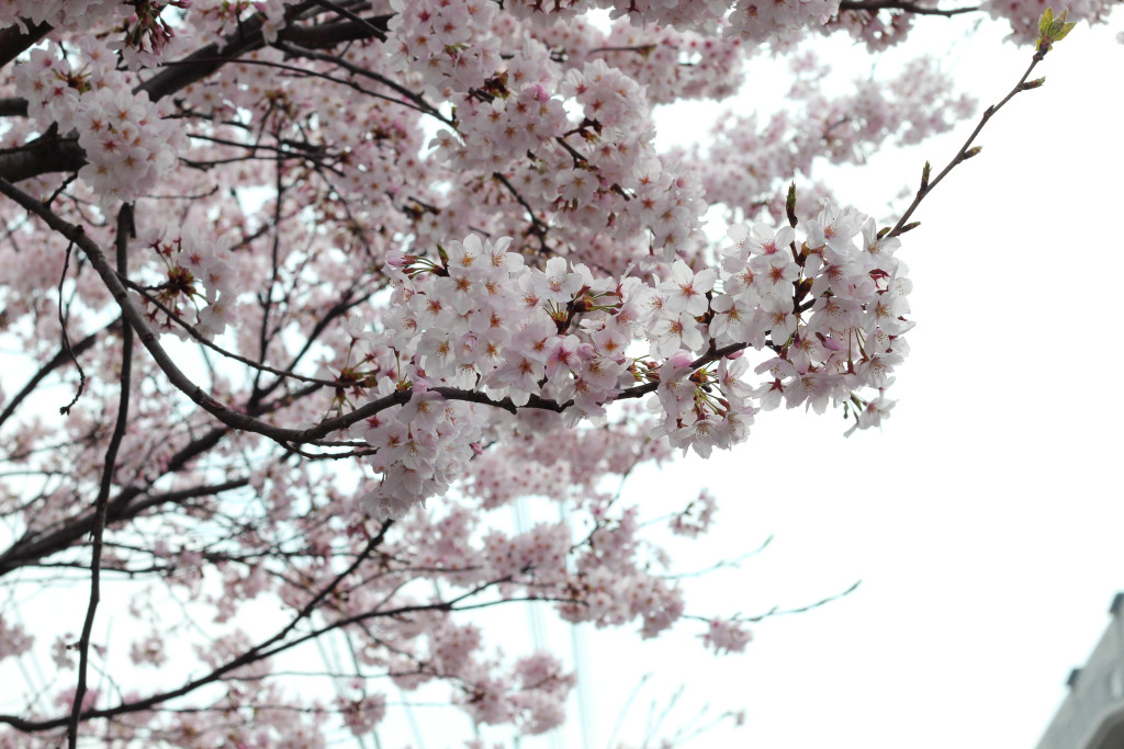 Hiroshima Cherry Blossom 3