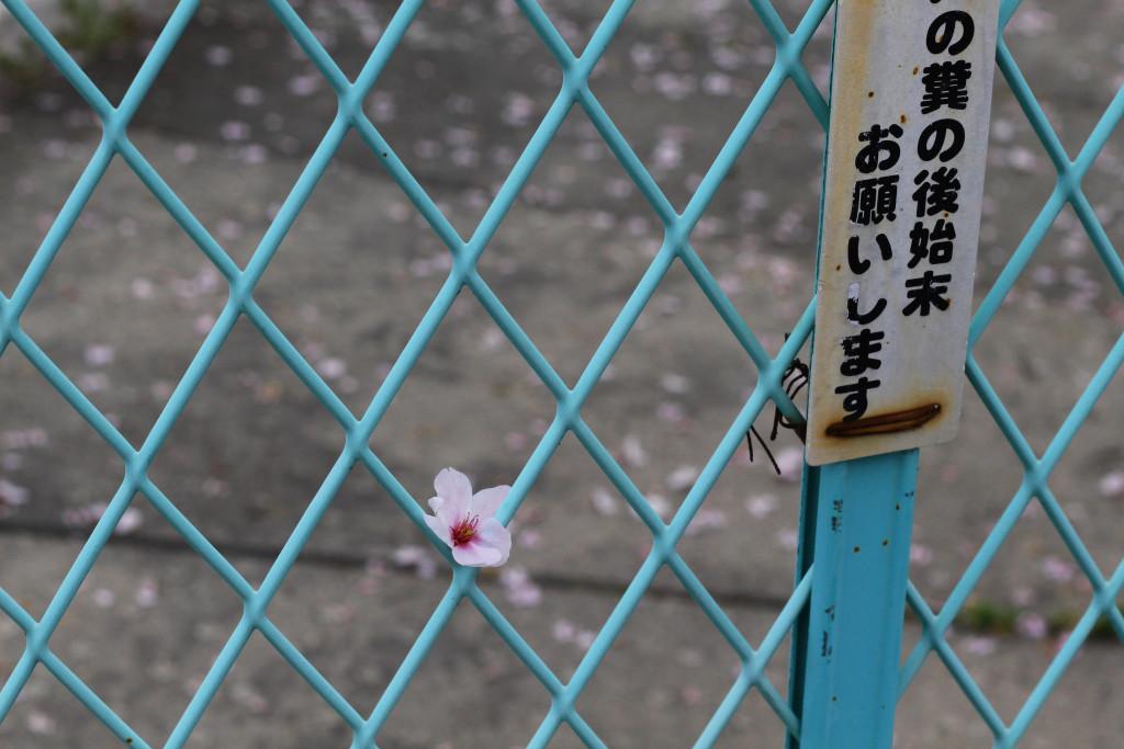 Hiroshima Cherry Blossom 4