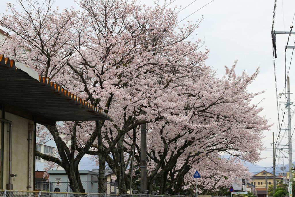 Hiroshima Cherry Blossom 5